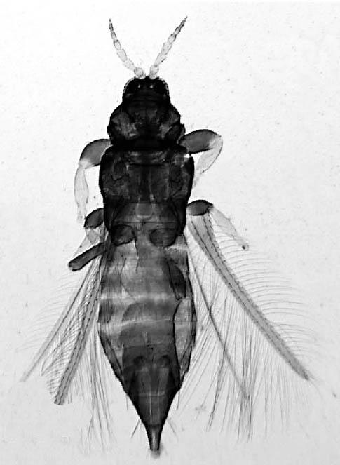 Heterothrips flavitibia
