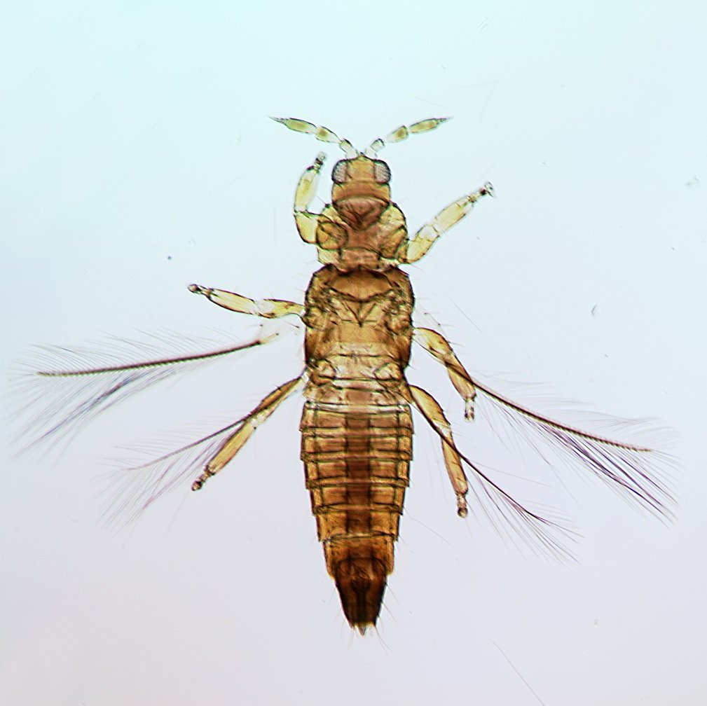 Aulacothrips amazonicus